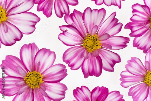Poster de jardin Dahlia cosmos flower background