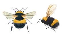 Watercolor Bumblebee Illustrations