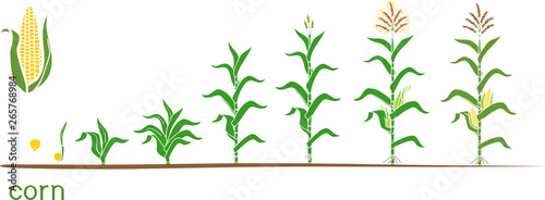 Cuadros en Lienzo Life cycle of corn (maize) plant