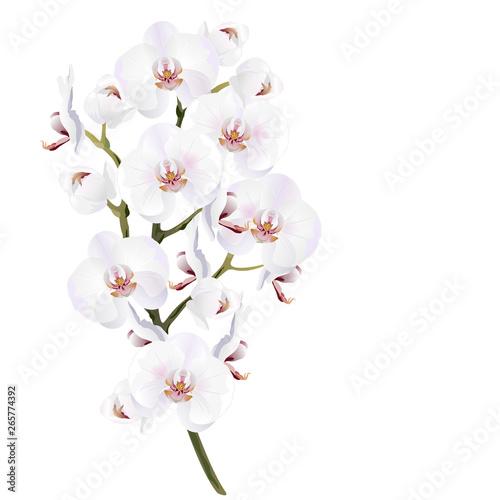 Valokuvatapetti White orchid flowers (Phalaenopsis)