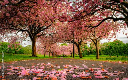 Stampa su Tela Cherry Blossoms in a Park