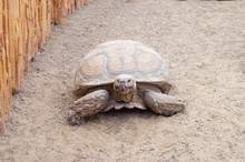 A Huge Live Turtle Crawling Th...