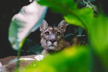 A Jaguar In The Amazon Rainforest. Iquitos, Peru. Selective Focus.