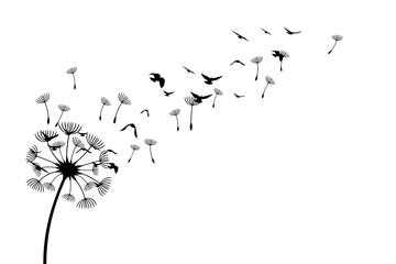 Panel Szklany Dmuchawce Dandelion with flying birds and seeds. Vector isolated decoration element from scattered silhouettes. Conceptual illustration of freedom and serenity.