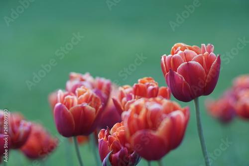 Montage in der Fensternische Darknightsky Tulip Amsterdam garden