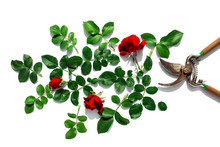 A Garden Pruner, Flowers Rose And Green Leaves Isolated On A White Background. Pruning Plants In The Garden. Gardening, Creative Concept. Top View.