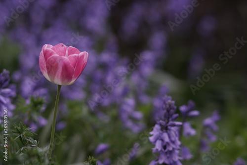 Montage in der Fensternische Darknightsky Pink tulip and blue flowers