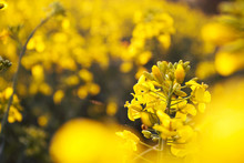 Landscape, Yellow Rapeseed Field, Close Up. Spring, Summer Background.