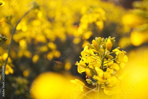 Türaufkleber Orange Landscape, yellow rapeseed field, close up. Spring, summer background.