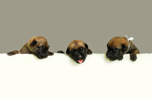 A Row Of Three  Breed Belgian ...