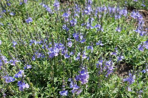 Fotografia, Obraz  Veronica austriaca in full bloom in late spring