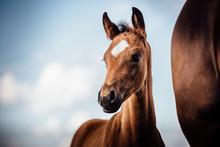 Pferde Hübsches Braunes Fohlen Im Sommer Vor Schönem Blauen Himmel Schaut Aufmerksam Fohlen Bei Fuss