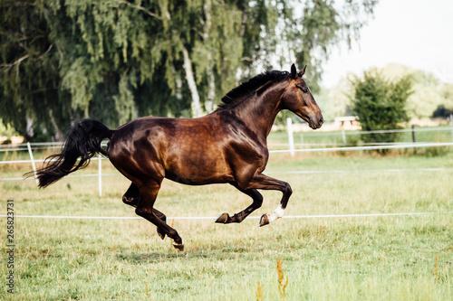 Fotografiet Pferd im Galopp auf eine Wiese im Sommer