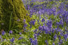 Flowering Bluebells Near A Mos...