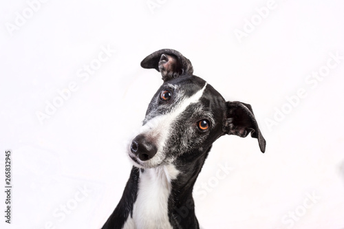 Photo Portrait of a greyhound on white background