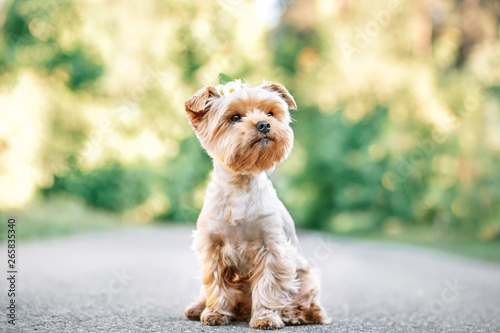 Obraz na plátně close up portrait of pretty sweet small little dog Yorkshire terrier in collar s