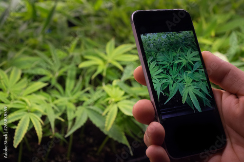 Photo Close up of hand taking picture of biological and ecological hemp plants used for herbal pharmaceutical cbd oil with a smart phone in a greenhouse