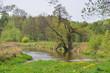 rzeka Wieprz wiosną, zieleń, drzewo nad wodą 1