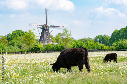 Printed kitchen splashbacks Grocery Countryside landscape with black scottish cow, pasture with wild flowers and traditional Dutch wind mill