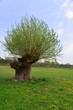 rosochata wierzba pokryta młodymi liśćmi z czeremchą rosnącą i kwitnącą w koronie wierzby 3
