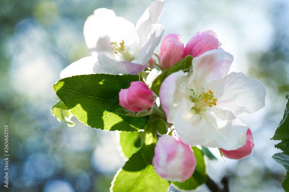Fototapeta Kwiaty jabłoni w pełnym rozkwicie w piękny słoneczny dzień - obraz na płótnie