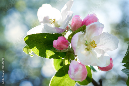 Kwiaty jabłoni w pełnym rozkwicie w piękny słoneczny dzień - fototapety na wymiar