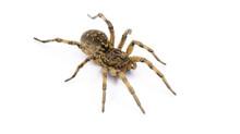 Tarantula Spider On White Background. Poison Tarantula. Human Health Hazard