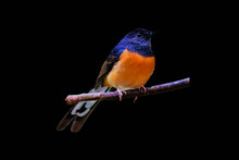 White-rumped Shama On The Branch On Black  Background