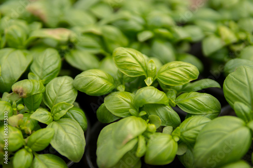 Canvas Prints Condiments detail of leaves of small basil
