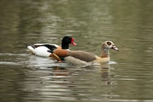 The Egyptian Goose (Alopochen Aegyptiaca) And Common Shelduck (Tadorna Tadorna) Swimming On The Lake, Clear  Background, Scene From Wildlife, Germany, Common Bird In Its Environment