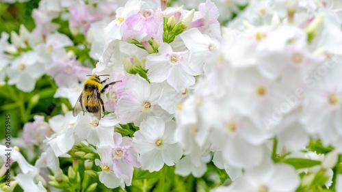 Obraz na plátne bee inside the purple Phlox