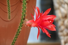 Close Up Of Red Flower Of A Sn...
