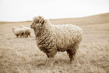 Profile Of Sheep Standing In Field With Two Sheep In Background