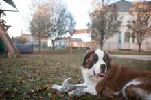 Saint Bernard Dog Lays In Backyard With Stuffed Rabbit Toy