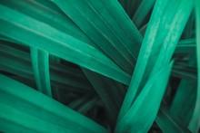 Pandanus Light Green Images Background Wallpaper Texture
