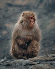 Japan Nagano Snow Monkey Macaq...