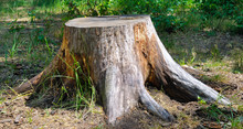 Old Tree Stump In The Park. Wi...