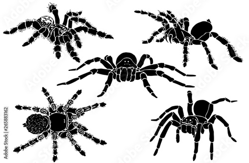 Graphical collection of tarantula isolated on white,vector spiders , tattoo,prin Canvas