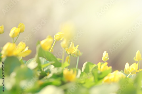 Montage in der Fensternische Gelb Beautiful yellow flowers on a background of green leaves in the sunlight, abstract blurred background, soft focus.