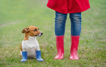 Jack Russell Dog Sitting Next To A Girl In Jeans And Red  Rain Boots In Spring Park.