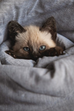 Portrait Of Siamese Kitten In Blanket
