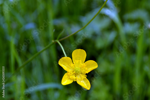 Ranunculus acris with little drop of water Canvas Print
