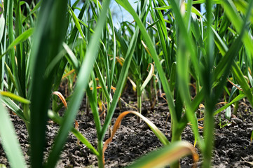 Garlic in the field.
