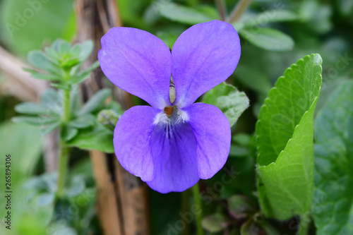Close up of a common violet (viola odorata) in bloom