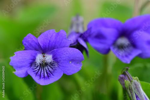 Macro shot of common violets (viola odorata) in bloom