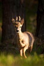 European Roe Deer, Capreolus Capreolus, Czech Republik