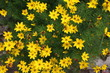 canvas print picture - Yellow blooming Coreopsis verticillata in summer, Germany