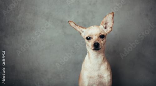 Fototapeta Dog portrait on grey background. Toy terrier breed obraz na płótnie