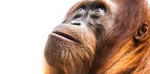 Orangutan, Aka Orang-utan Or Orangutang. Detailed Face Portrait
