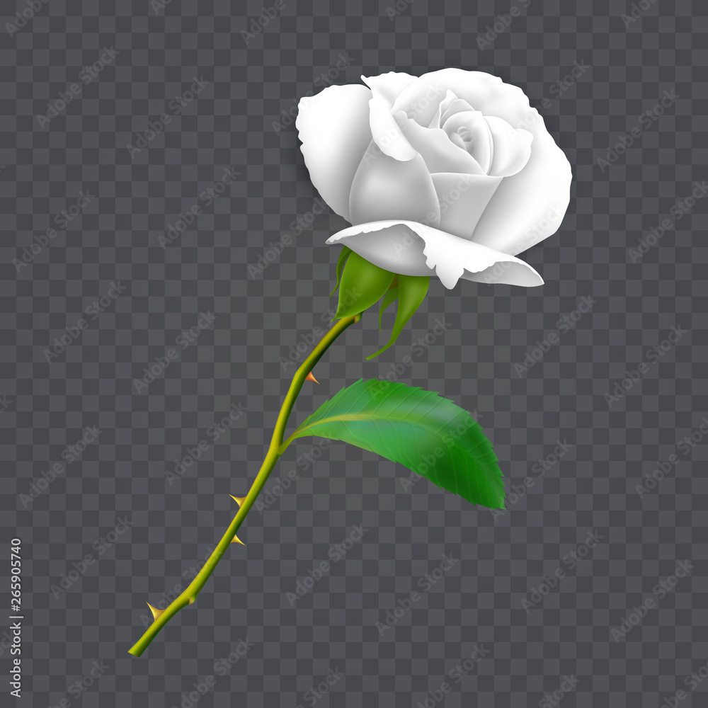 Fototapeta Beautiful white rose on long stem with leaf and thorns isolated on dark background, decoration for your design, photo realistic vector illustration.